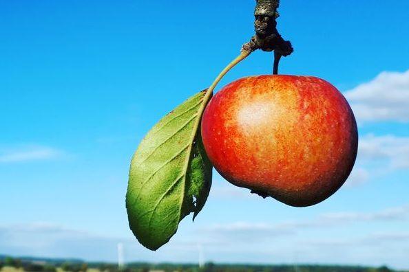 An einem Zweig hängt ein rotbackiger Apfel. Im Hintergrund ist ein blauer Himmel und ein Feld zu sehen.