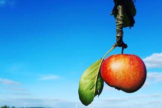 An einem Zweig hängt ein rotbackiger Apfel. Im Hintergrund ist ein blauer Himmel und ein Feld zu sehen. - Copyright: Ines Langhorst