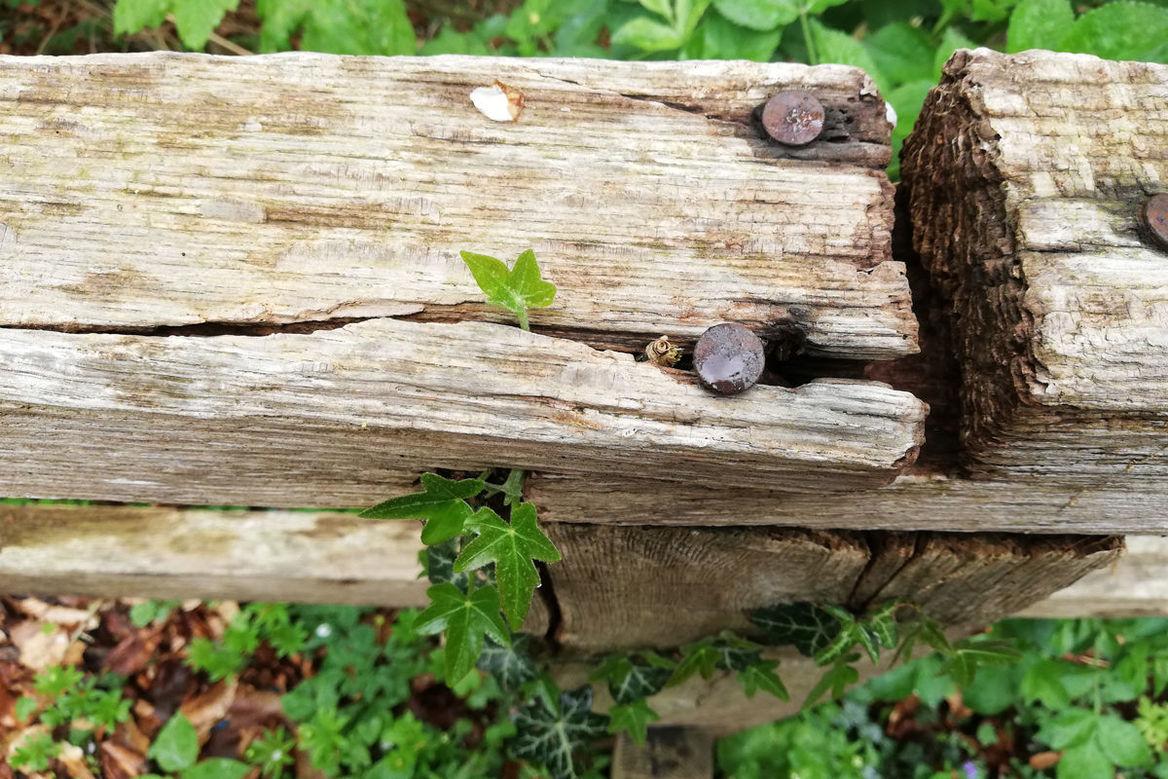 Holzstamm der Risse hat und zwei große eingeschlgene Nägel enthält. Um den Stamm rangt Efeu - Copyright: Mareike Hansen